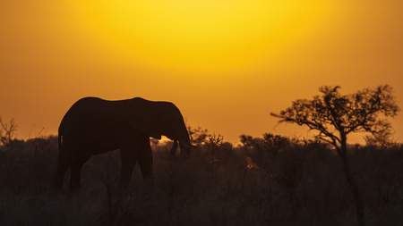 specie: Specie family of Elephantidae Loxodonta africana, african elephant on sunset in Kruger Park