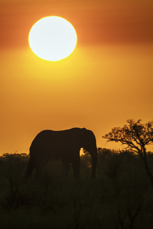 loxodonta africana: Specie family of Elephantidae Loxodonta africana, african elephant on sunset in Kruger Park