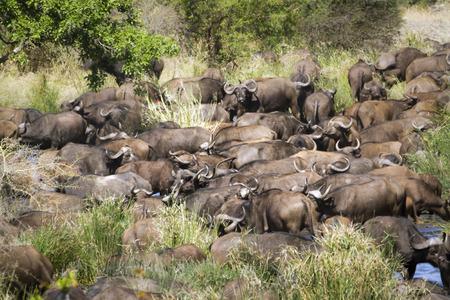 bovidae: Specie Syncerus caffer family of bovidae, group of buffalos in savannah