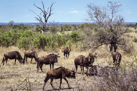 small group of animals: Specie Connochaetes taurinus family of bovidae, blue wildebeest in savannah