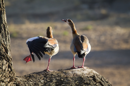 anatidae: Specie Alopochen aegyptiaca family of anatidae, egyptian gooze in meeting time