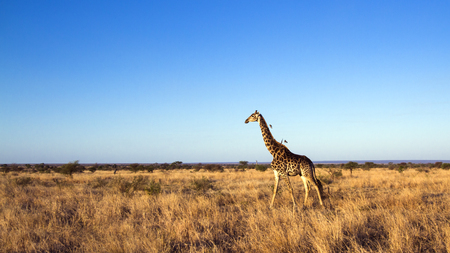 giraffa camelopardalis: Specie Giraffa camelopardalis family of Giraffidae, giraffe walking in savannah
