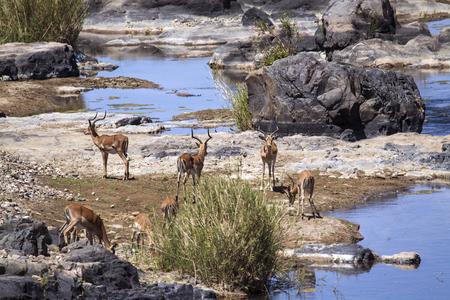 bovidae: Specie Aepyceros melampus family of bovidae, group of impalas in the riverbank Stock Photo