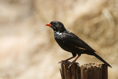 Specie Bubalornis family of Niger Ploceidae, red-billed buffalo weaver