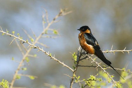 insectivorous: Specie Cecropis semirufa family of Hirundinidae, rufous-chested swallow