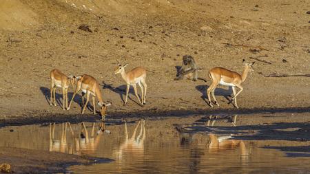bovidae: Specie Aepyceros melampus family of bovidae,  impala drinking in the riverbank