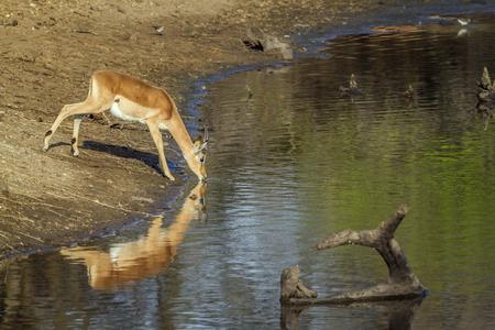 bovidae: Specie Aepyceros melampus family of bovidae, impala drinking in the riverbank Stock Photo