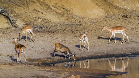 bovidae: Specie Aepyceros melampus and Tragelaphus angasii, impalas in the riverbank