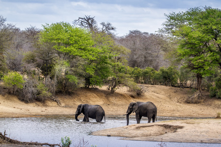 loxodonta africana: Specie Loxodonta africana family of Elephantidae, african elephants in the riverbank