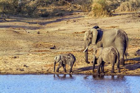 specie: Specie Loxodonta africana family of Elephantidae, african elephants family in the riverbank