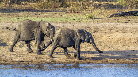 specie: Specie Loxodonta africana family of Elephantidae, african elephants in the riverbank