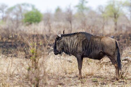 taurinus: Specie Connochaetes taurinus family of bovidae, wildebeest in savannah