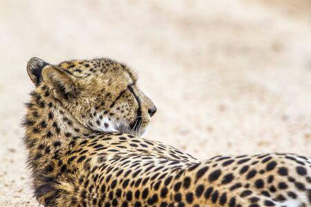 specie: Specie Acinonyx jubatus family of felidae