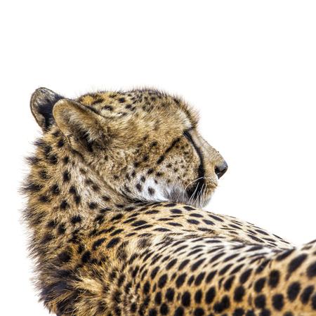 felidae: Specie Acinonyx jubatus family of felidae