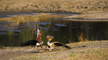 accipitridae: Specie Haliaeetus vocifer family of Accipitridae, african fish eagles in the riverbank