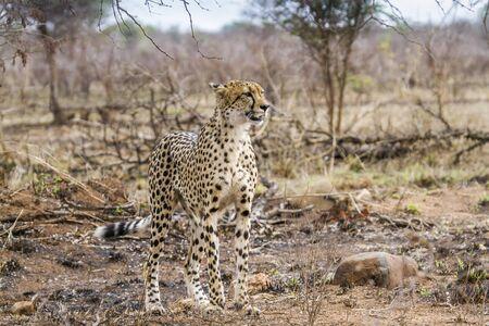 jubatus: Specie Acinonyx jubatus family of felidae, cheetah walking in savannah