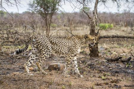 acinonyx: Specie Acinonyx jubatus family of felidae, cheetah walking in savannah