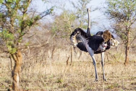 struthio camelus: Specie Struthio camelus family of Struthionidae, ostrich in savannah Stock Photo