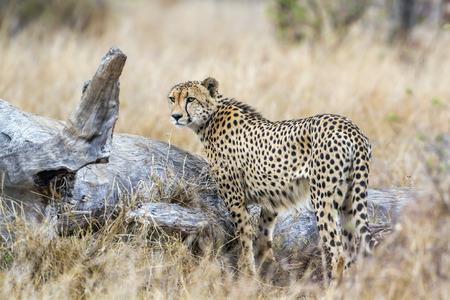 felidae: Specie Acinonyx jubatus family of felidae, cheetah walking in savannah