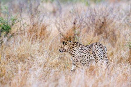specie: Specie Acinonyx jubatus family of felidae, cheetah walking in savannah