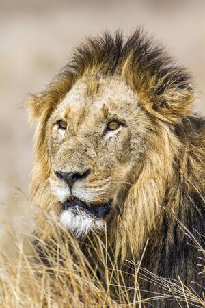 felidae: Specie Panthera leo family of felidae, portrait of a male lion in savannah Stock Photo