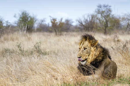 felidae: Specie Panthera leo family of felidae, lion having a nap in savannah Stock Photo