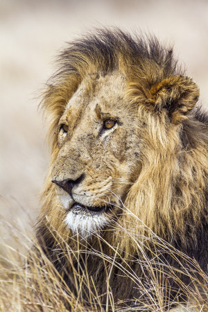 specie: Specie Panthera leo family of felidae, portrait of a lion in savannah Stock Photo