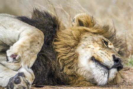 specie: Specie Panthera leo family of felidae, lion sleeping in savannah