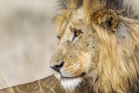 felidae: Specie Panthera leo family of felidae, portrait of a lion in savannah Stock Photo