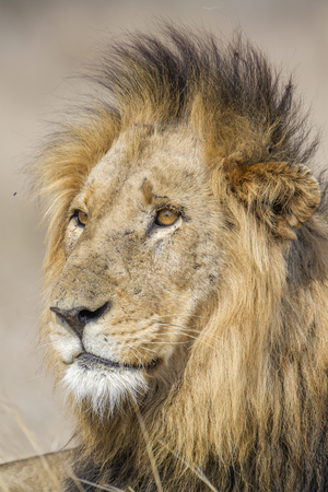 specie: Specie panthera leo family of felidae, portrait of a lion in savannah