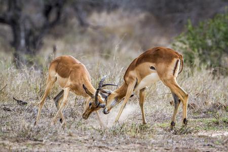 bovidae: Specie Aepyceros melampus family of bovidae, impalas fighting in the bush