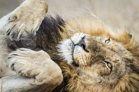 specie: Specie Panthera leo family of felidae, lion sleeping on the back, Kruger