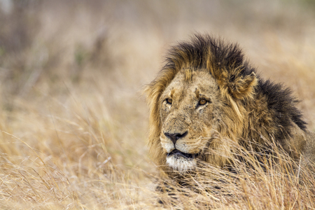 felidae: Specie Panthera leo family of felidae, Specie Panthera leo family of felidae, portrait of a male lion, South Africa