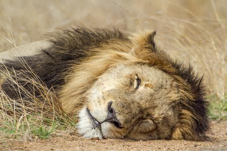 panthera leo: Specie Panthera leo family of felidae, lion sleeping in savannah