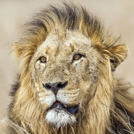 specie: Specie Panthera leo family of felidae, Specie Panthera leo family of felidae, portrait of a male lion, South Africa