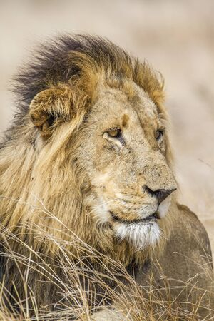panthera leo: Specie Panthera leo family of felidae, Specie Panthera leo family of felidae, portrait of a male lion, South Africa