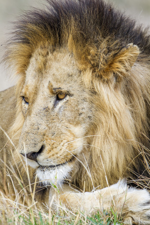 felidae: Specie Panthera leo family of felidae, portrait of a male lion, South Africa Stock Photo