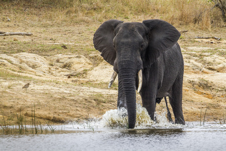 specie: Specie Loxodonta africana family of Elephantidae, african bush elephant in the riverbank, South Africa