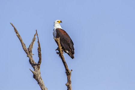 accipitridae: Specie Haliaeetus vocifer family of Accipitridae, african fish eagle on a branch, blue sky