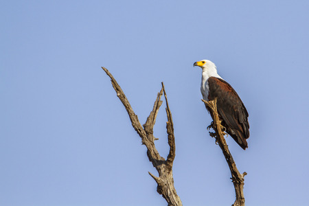 accipitridae: Specie Haliaeetus vocifer family of Accipitridae, african fish eagle on a dead branch