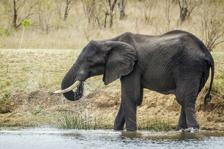 africana: Specie Loxodonta africana family of Elephantidae, african bush elephant in the bush, Kruger, South Africa