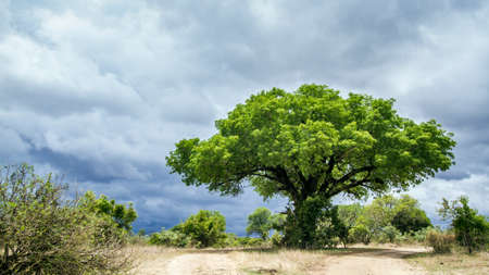 kruger park: landscape, savannah and cloudy sky in Kruger Park, South Africa Stock Photo