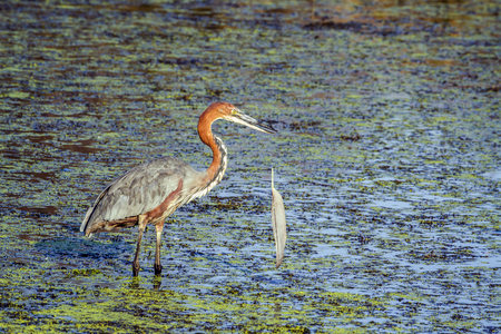 freshwater bird: Specie Ardea goliath family of ardeidae, Goliath heron holding a feather in its beak