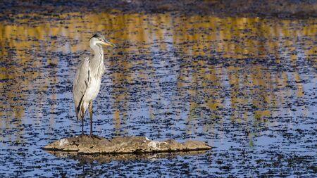 ardeidae: Specie Ardea cinerea family of ardeidae, grey heron in Kruger park