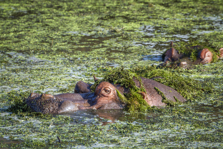 amphibius: Specie Hippopotamus amphibius family of Hippopotamidae, hippos in the water in Kruger park