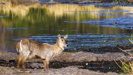 bovidae: Specie Kobus ellipsiprymnus family of bovidae, waterbuck in the riverbank, South Africa Stock Photo