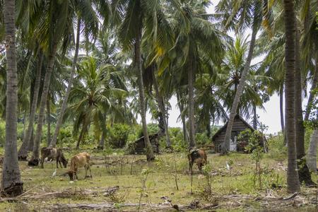 third world: landscape, fisherman house and cattle in Sri Lanka