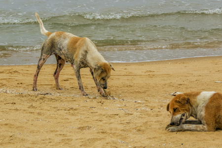 mangy: poor mangy dog on the beach in Sri Lanka Stock Photo