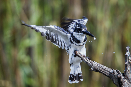alcedinidae: Specie Ceryle rudis family of Alcedinidae, pied kingfisher open wings