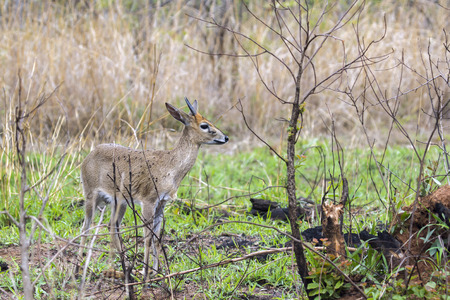 campestris: Specie Raphicerus campestris family of bovidae, steenbok in green savannah